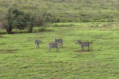 Zèbres, cratère de Ngorongoro, Tanzanie Photographie stock
