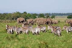zèbres d'éléphants Photographie stock