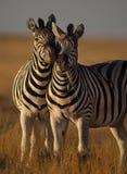 Zèbres dans la lumière molle d'après-midi, Namibie Images libres de droits
