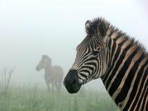 Zèbres dans le brouillard photographie stock
