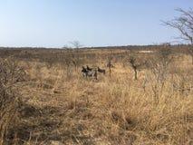 Zèbres dans le dafrika de ¼ de SÃ - zèbres en Afrique du Sud photographie stock libre de droits