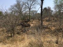 Zèbres dans le dafrika de ¼ de SÃ - zèbres en Afrique du Sud photographie stock