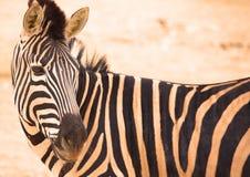 Zèbres dans le zoo image stock