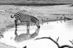 Zèbres de B&W par l'eau en parc national de Tarangire, Tanzanie Images stock