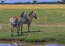 Zèbres de Burchell se tenant sur les plaines ouvertes dans le masai Mara, Kenya Images stock