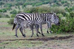 Zèbres de masai Mara 3 Images libres de droits