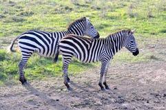 Zèbres de masai Mara 4 Images stock