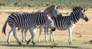 Zèbres en Afrique Image stock
