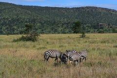 Zèbres en Afrique Photographie stock libre de droits