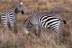 Zèbres en Afrique Images stock