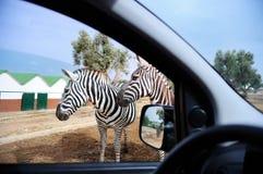 Zèbres en parc de safari Photographie stock