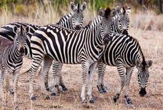 Zèbres en stationnement national de Kruger Images libres de droits