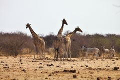 Zèbres et girafes de Damara au point d'eau, Etosha, Namibie Photo stock