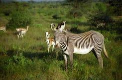 zèbres grevy de samburu de réserve du Kenya de jeu Photos libres de droits