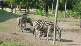 Zèbres marchant et mangeant l'herbe sur territoty du zoo ouvert de Khao Kheow banque de vidéos