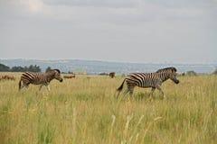 Zèbres marchant par des gras africains Photographie stock