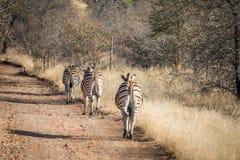 Zèbres marchant sur la route dans un fichier unique photos libres de droits