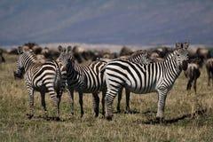 Zèbres, masais Mara image libre de droits