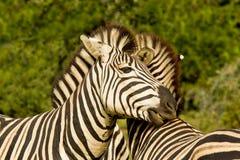 Zèbres montrant l'affection Image libre de droits