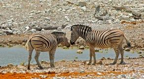 Zèbres se tenant devant un point d'eau en parc national d'Etosha, Namibie Photographie stock libre de droits