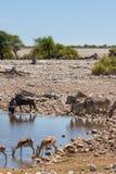 Zèbres, springboks, gnous au point d'eau en parc national d'Etosha, Namibie Image stock