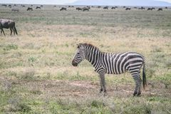 Zèbres sur les plaines en Afrique image libre de droits