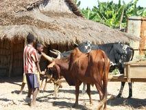Zébu malgache Photographie stock libre de droits