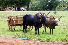 Zébus accrochés dans le chariot. Photos stock