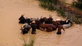 Zébus de lavage en rivière d'Onive chez Antanifotsy, Madagascar photographie stock