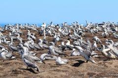 Züchten von Gannet-Kolonie an den Kap-Entführern Neuseeland lizenzfreie stockfotos