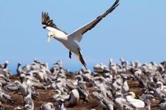 Züchten von Gannet-Kolonie an den Kap-Entführern Neuseeland lizenzfreies stockfoto