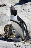 Züchtend afrikanische Pinguine an den Fluss-Steinen setzen, Umhang auf den Strand Lizenzfreies Stockfoto