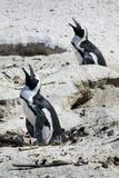 Züchtend afrikanische Pinguine an den Fluss-Steinen Strand, Umhang Stockfotos
