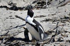 Züchtend afrikanischer Pinguin an den Fluss-Steinen Strand, Umhang Stockbild