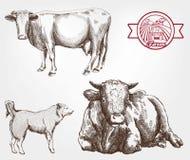 Züchtende Kühe Stockfoto