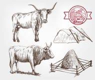 Züchtende Kühe Stockfotos