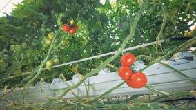 Züchtende Sämlinge von Tomaten in einem Bauernhaus stock footage