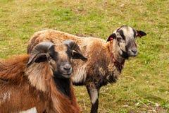 Züchtende Schafe auf dem Bauernhof Kamerun-Schafe auf Weide Stockfoto