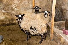 Züchtende Schafe auf einem Bauernhof Schafe in der Stiftnahaufnahme Stockfoto