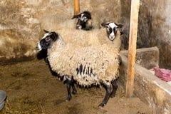 Züchtende Schafe auf einem Bauernhof Schafe in der Stiftnahaufnahme Stockfotografie