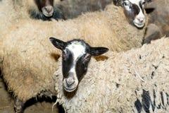 Züchtende Schafe auf einem Bauernhof Schafe in der Stiftnahaufnahme Lizenzfreies Stockfoto