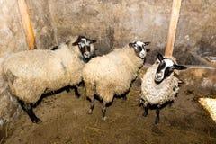 Züchtende Schafe auf einem Bauernhof Schafe in der Stiftnahaufnahme Stockbilder