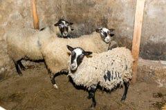 Züchtende Schafe auf einem Bauernhof Schafe in der Stiftnahaufnahme Lizenzfreie Stockfotografie