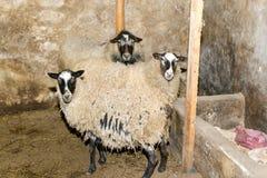 Züchtende Schafe auf einem Bauernhof Schafe in der Stiftnahaufnahme Lizenzfreies Stockbild