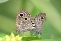 Züchtende Schmetterlinge Stockfotografie