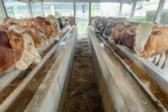 züchtender Bauernhof der Kuh Stockbild