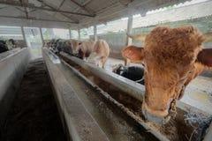 züchtender Bauernhof der Kuh Stockfotos