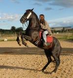 Züchtung des schwarzen Stallion Stockbilder
