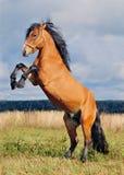 Züchtung von Stallion Lizenzfreies Stockfoto