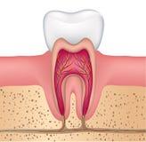 Ząb anatomia ilustracja wektor
